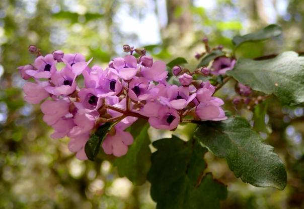 Balm Mint Bush (Prostanthera melissifolia)