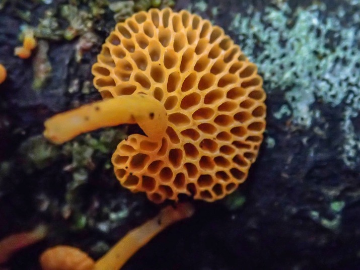 Orange Pore Fungi - Favolaschia calocera, underside showing the pores.