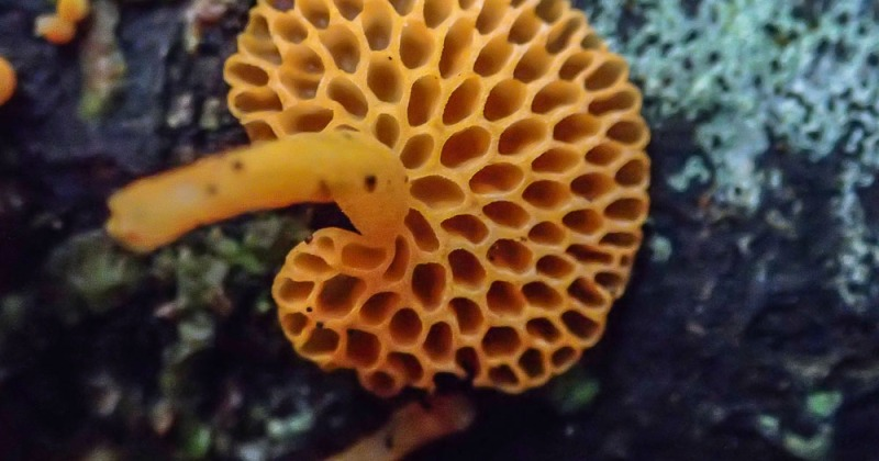 Orange Pore Fungi - Favolaschia calocera