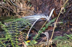 Lyrebird Display
