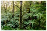 Ferns in the Tarra Valley