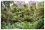 Slender Tree Ferns