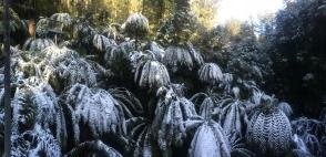 Snow Covered Ferns