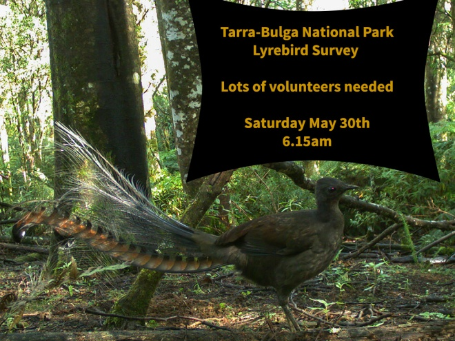 Lyrebird Count 2015 photo