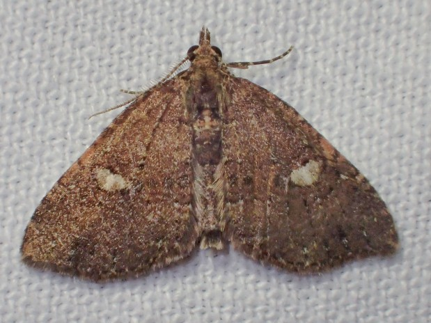 Elusive Otways Moth Shows Up in Tarra-Bulga