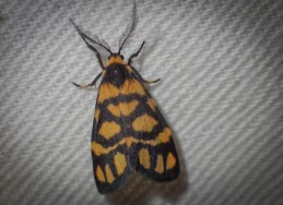 Asura lydia - Lydia Lichen Moth