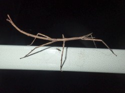 Ctenomorpha marginipennis - Margined-winged Stick-insect