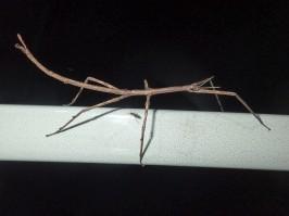 Ctenomorpha marginipennis - Margined-winged Stick-insect
