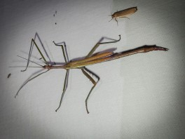 Didymuria violescens - Spur-legged Stick-insect