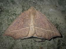 (Gynopteryx) ada - Bracken Moth