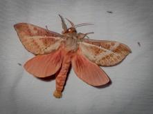 Oxycanus dirempta - Variable Oxycanus