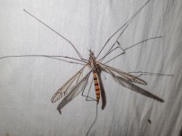 Cranefly - still to be identified
