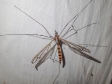 Cranefly - still to be identified