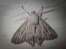 Paraterpna species