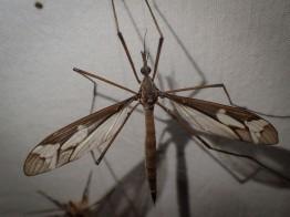Ptilogyna olliffi - Crane Fly