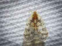 Rhotana chrysonoe