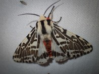 Spilosoma glatignyi - Black and White Tiger Moth