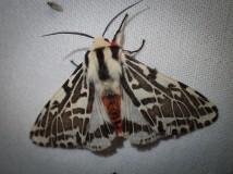 Spilosoma glatignyi - Black and White Tiger Moth