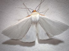 Thalaina selenaea - Orange-rimmed Satin Moth