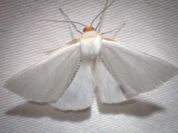Thalaina selenaea - Orange-rimmed Satin Moth
