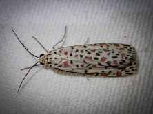 Utetheisa pulchellloides - Heliotrope Moth