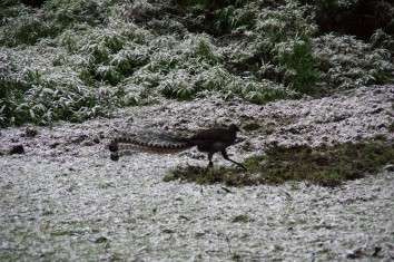 Lyrebird undeterred by a dusting of snow
