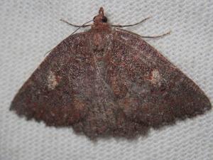 Apodasmia rufonigraria