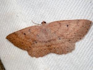Casbia Melanops