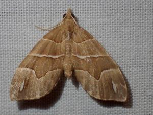 Chaetolopha leucophragma