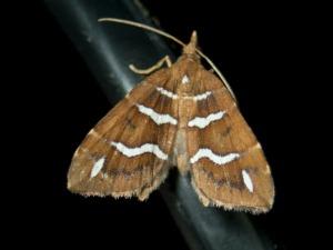 Chaetolopha niphosticha