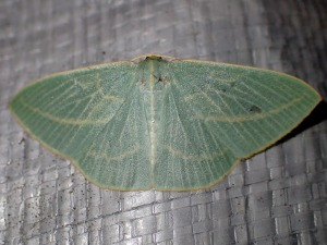 Chlorocoma carenaria