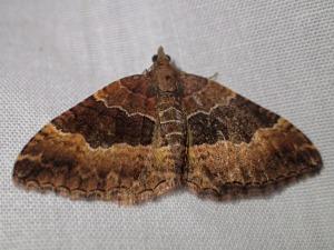 Chrysolarentia euphileta