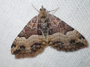 Chrysolarentia lucidulata
