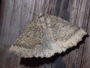 Furcatrox paracus