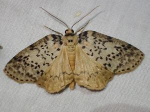 Lyelliana dryophila
