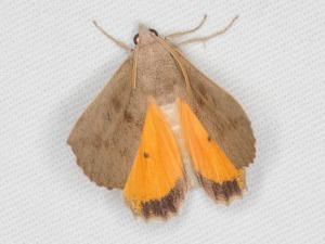 Mnesampela heliochrysa