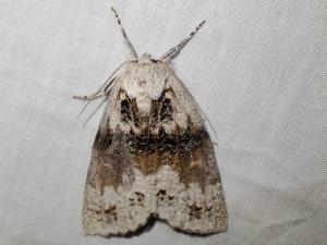 Mochlotona phasmatias
