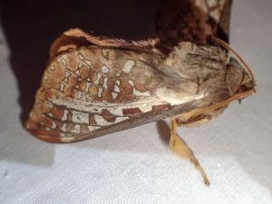 Oxycanus dirempta