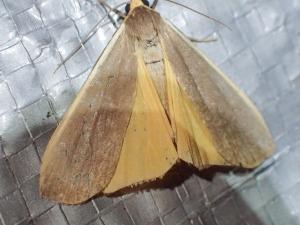 Palaeosia sp.(2)