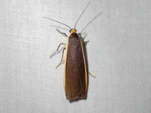 Palaeosia Sp(1)