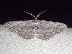 Phelotis cognata