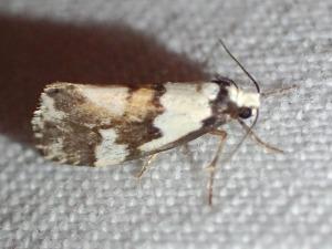 Philenora aspectalella