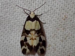 Thallarcha phalarota